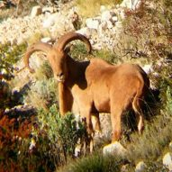 Aoudad Hunting in Spain