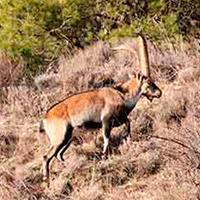 beceite ibex
