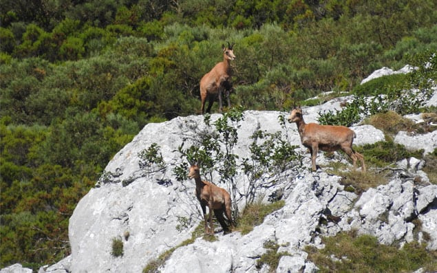 cantabrian chamois flock