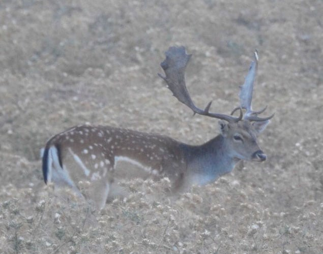 fallow deer hunting in a spanish species hunting combos