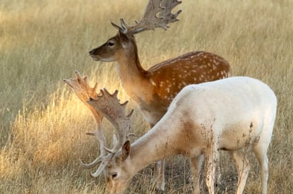 fallow deer spain