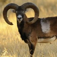 iberian mouflon sheep in a driven hunt monteria