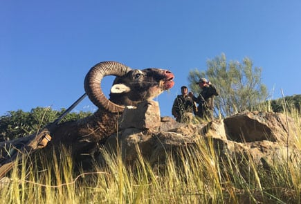wild sheep trophy Spain
