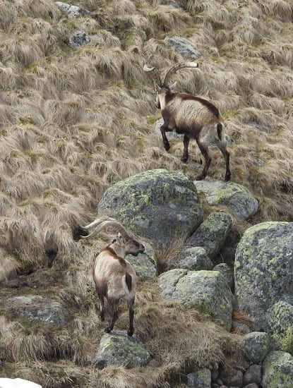 Hunting in Spain in Gredos mountains the Spanish Ibex