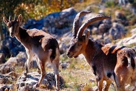 ronda ibex