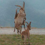 Sierra Nevada Spanish Ibex