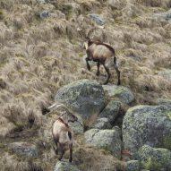 trip-gredos-ibex-3
