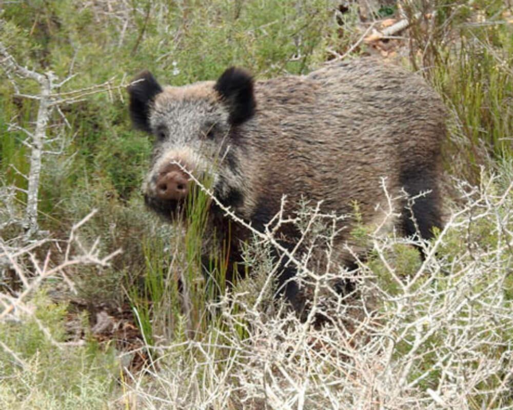 wild boar monteria