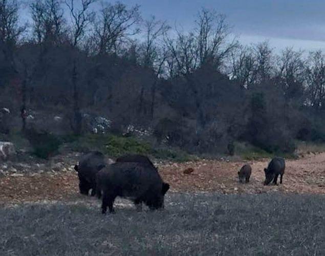 wild boar spain