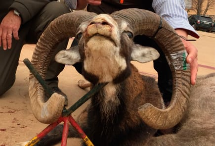 wild sheep trophy spain